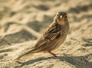 sparrow-3174101_960_720