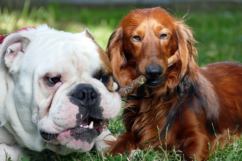 dogs-2450047_960_720